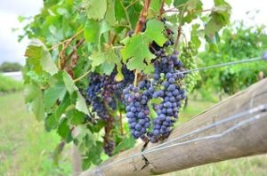 grapes growing on vie
