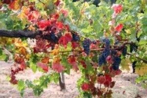 Grapes - Placer County