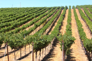 Rows of Vineyards Livermore