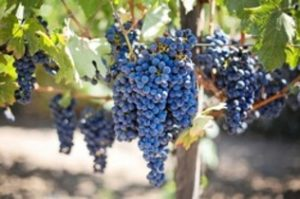 Fresno County Wineries - grapes