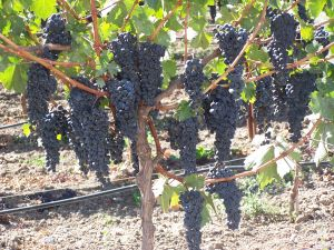 California Wineries - Sierra Foothills