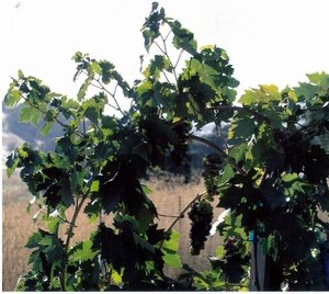 DeRose Vineyard, Hollister