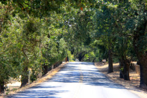 Dry Creek Valley Road With Trees