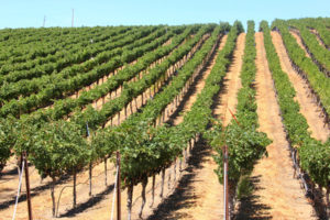 Vineyard rows of grapes