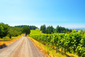 Vineyard in McMinnville Oregon
