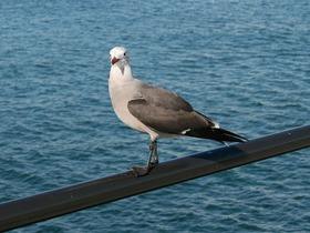 Sea Gull - Huntington Beach, CA